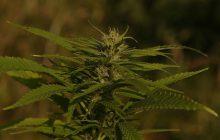 Marihuana dla 10 tysięcy Polaków