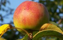 Polskie jabłka mają szansę podbić chiński rynek. Politycy usunęli bariery administracyjne