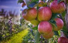 Polscy sadownicy nawiązują kontakty w Emiratach Arabskich i Chinach. Nowy kierunek zbytu jabłek?