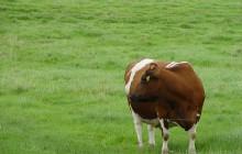 Rolnicy niezadowoleni ze zniesienia kwot mlecznych