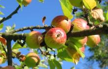 Wkrótce Polska stanie się drugim producentem jabłek na świecie!