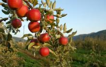 Polskie jabłonie w Kazachstanie
