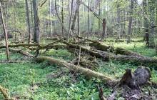 Lasy Państwowe: W Puszczy Białowieskiej nie ma wycinki