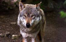 Wilki w Norwegii zagrożone wyginięciem. A prawie 50 i tak do odstrzału