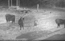 Żubry pokazały wilkom, że są władcami puszczy. Zobacz nagranie z kamer! [WIDEO]