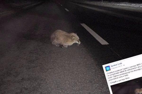 Uratowali lisa, który przymarzł do asfaltu. Już okrzyknięto ich bohaterami! [WIDEO]