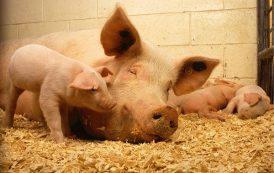 Ministerstwo Sprawiedliwości: 3 lata za ubój świni bez zgłoszenia!