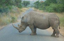 Francja: Zabili nosorożca, by ukraść róg!