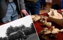Naukowcy pokazali szkielet prehistorycznego nosorożca.