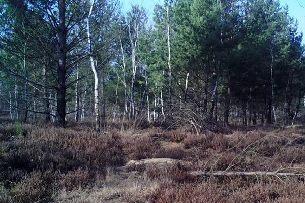 Przygnębiające nagranie wilka z wnykiem na łapie udostępnione ku przestrodze [WIDEO]