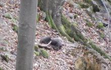 Małe niedźwiadki bawią się pod czujnym okiem matki. Jednak Lasy Państwowe przestrzegają [WIDEO]