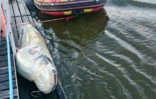 Tego giganta wyłowiono z Wisły. Stołeczny WOPR wyciągnął na brzeg monstrualną rybę