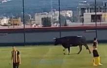 Przerwali mecz, bo na boisko wtargnął... byk [WIDEO]