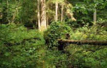 UNESCO nakazuje zaprzestania wycinki drzew w Puszczy Białowieskiej