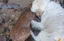 Bohaterski pies uratował tonącego jelonka, wyciągając go na brzeg. Całą akcję nagrał jego właściciel [WIDEO]