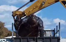 Plażowicze byli w szoku, gdy zobaczyli... gigantycznego gada! Potrzebny był ciężki sprzęt [WIDEO]