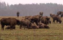 Tutaj niedźwiedzie, wilki, żubry i jelenie żyją obok siebie. Tylko w jednym miejscu w Polsce występuje taka