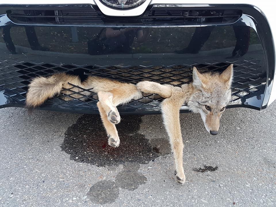 Niesamowita historia. Kobieta przejechała kilkadziesiąt kilometrów... z żywym kojotem w zderzaku [WIDEO]