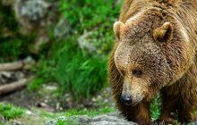 Naukowcy zbadali populację niedźwiedzi w Europie w ciągu ostatnich 12 tys. lat. Wnioski nie są optymistyczne