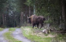 Greenpeace zabrało głos ws. zastrzelonego żubra w Niemczech. Organizacja zbiera podpisy pod petycją