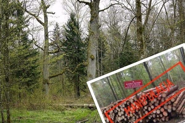 """Leśnicy ujawniają manipulację w Puszczy Białowieskiej. """"Potem wystarczy zrobić foto i napisać, że leśnicy wycinają rezerwat"""""""