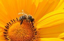 Ten preparat pomoże pszczołom w walce z groźną chorobą. Opracowali go Polacy