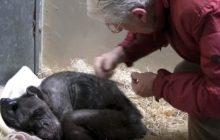 Ta scena chwyta za serce! Umierający szympans spotkał dawnego przyjaciela [WIDEO]