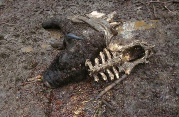 Coś zabija żubry! Leśnicy publikują wstrząsające zdjęcia [FOTO]
