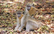 Dlaczego jedna grupa małp jest odporna na AIDS? Polka prowadzi badania, które mogą pomóc w walce z niebezpieczną chorobą
