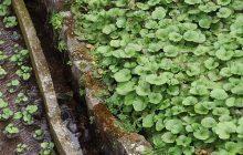To jedyna taka uprawa w Europie. Japoński chrzan wasabi na polach pod Radomiem!