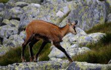 Przyrodnicy policzyli kozice w Tatrach. W akcji wzięło udział kilkuset obserwatorów z Polski i Słowacji