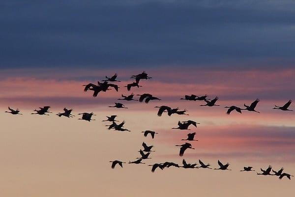 ptaki-żurawie