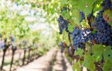 Ekspert nie ma wątpliwości: wina z Polski są coraz lepsze