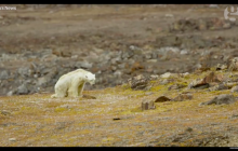 Smutne nagranie wygłodniałego niedźwiedzia trafiło do sieci.