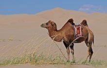 Granica Indii i Chin będzie patrolowana przez... wielbłądy!