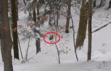 Bieszczady: niedźwiedzia rodzina została zaatakowana przez watahę wilków. Leśniczy stanął w obronie słabszych [WIDEO]