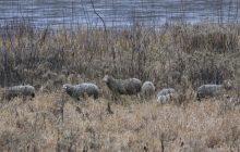 Warszawa: Kilkadziesiąt owiec i kóz zamieszkało na wyspie nad Wisłą. Znamy powód [FOTO]