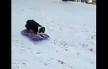 Tak się bawi najinteligentniejsza rasa psów na świecie. Niezwykłe nagranie podbija sieć! [WIDEO]