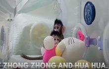 Chińczycy sklonowali małpy! Jest ostra reakcja Watykanu [WIDEO]