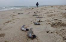 Hel: Setki rzadkich ryb wyrzuconych na brzeg