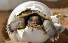 Zagrożone wyginięciem żółwie argentyńskie trafiły do wrocławskiego zoo