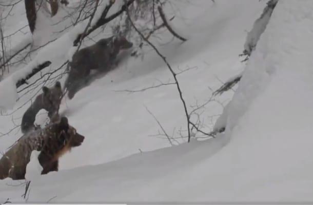 Leśniczy dawniej zasłynął nagraniem z watahą wilków. Teraz miał spotkanie z rodziną niedźwiedzi [WIDEO]