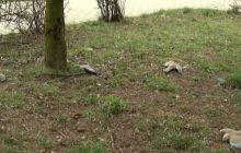 Dramatyczny widok na jednym z osiedli w Jaworznie. Kilkadziesiąt martwych ptaków na trawniku. Ktoś je otruł? [WIDEO]