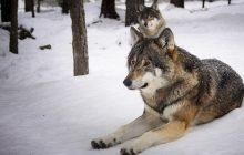 Wilki powracają do dawnych ostoi w zachodniej Polsce. Potwierdzają to badania
