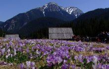 Rozpoczyna się wiosna w Tatrach? Internauci udostępniają zdjęcia pierwszych krokusów z Doliny Chochołowskiej!