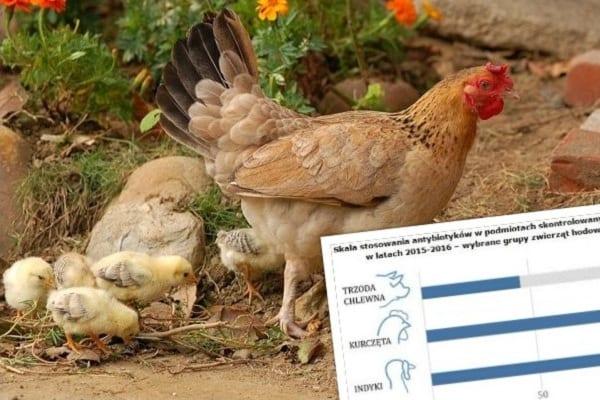 NIK alarmuje: Antybiotyki powszechnie używane w hodowli zwierząt