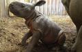 Ten widok rozczuli każdego! W warszawskim ZOO przyszedł na świat nosorożec pancerny. Oto jego pierwsze kroki [FOTO+WIDEO]