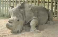 Nie żyje ostatni samiec nosorożca białego północnego.
