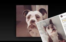 To najsmutniejszy pies na świecie? Zdjęcia tego buldoga podbiły sieć! [FOTO]