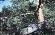 Podlaskie: przyrodnicy umieścili kamerę nad gniazdem jastrzębi. Transmisję można oglądać w internecie